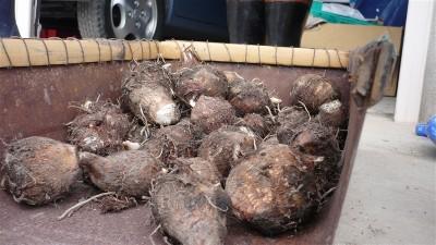 里芋。収穫した内の10分の1にも満たない。
