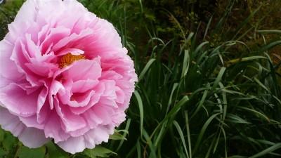 牡丹の花が咲いている。