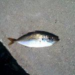 新笠岡港にサビキ釣りへ行ってきた