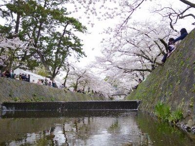 川の中から見上げたら桜
