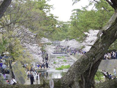 松で桜を切り取ってみ